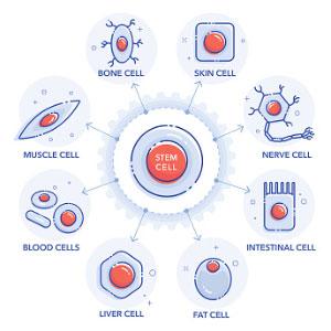 Stem Cell Grafting